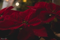 Merry Christmas! (Irina1010) Tags: poinsettia plant flower red bokeh christmas festive canon coth coth5