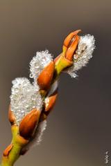 Spring... new life. (N.Batkhurel) Tags: season spring closeup plant bush mongolia macro ngc nikon nikond5200 nikkor natur 105mm