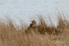 IMG_9965 (monika.carrie) Tags: monikacarrie wildlife seo shortearedowl forvie scotland owl