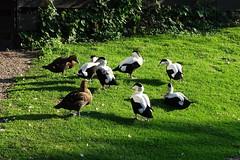 Eider Ducks (Wildlife Terry) Tags: martin mere wildlife wetlands trust domestic escapee ornamental wildfowl waterbirds ducks geese swans lancashire northwestengland