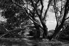 coast tree, Sydney 2018  #814 (lynnb's snaps) Tags: hp5 ilfordfilm om4ti olympusom4ti slr xtol bw film omzuiko28mmf35 2018 tree trees nature branches path track peaceful blackandwhite bianconegro biancoenero blackwhite bianconero blancoynegro noiretblanc schwarzweis monochrome ishootfilm ilovefilm