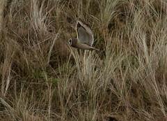IMG_4593 (monika.carrie) Tags: monikacarrie wildlife scotland forvie shortearedowl seo