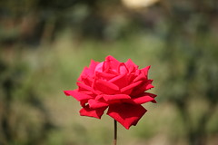 Red Rose at Garden (arif.bsl14) Tags: flower flowers rose roseflower blooming bud bloom natural nature macro closup