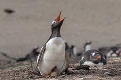 Look What I Did! (Linda Martin Photography) Tags: gentoopenguin saundersisland southatlanticocean nature bird breeding falklandislands wildlife pygoscelispapua eggs naturethroughthelens coth5 alittlebeauty specanimal ngc npc