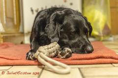 Der Träumer (Steffi.K.) Tags: rot labradorretriever dog dogstoys hundespielzeug schwarz black hundedecke