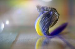 The Cobra ;o) (Elisafox22) Tags: elisafox22 sony nex6 sonye30mmf35 macrolens macro hsos petal iris hcc clichesaturday blue orange yellow onesinglepetal colours cobra flower curled dead reflections bokeh stilllife indoors elisaliddell©2019