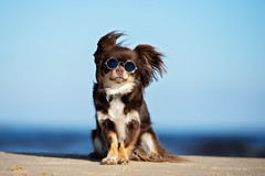 funny chihuahua dog in sunglasses posing on a beach (acespace) Tags: dog sunglasses funny pet animal fun beach white glasses sun cool summer humor cute happy background vacation small chihuahua hot shades holiday portrait sea up ocean blue beauty sitting wearing young travel hair brown tricolor longhaired sand sunny chocolate windy latvia
