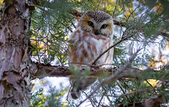 Northern Saw-whet Owl  Been looking for one of these guys for years, I finally found one In Connecticut. (stephenwalshphoto) Tags: