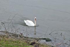 am Rhein in Wesseling (mama knipst!) Tags: schwan swan wasservogel vogel bird rhein rhine fluss river wesseling