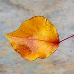 Leaf Series 31 thumbnail