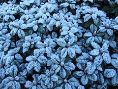IMG_5653k (dianangelah) Tags: winter eis frost hiver reif kristall christals blatt blätter leaves feuilles natur nature raureif hoarfrost givre geada