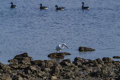 Arne 27-02-2015 14 (Matt_Rayner) Tags: arne littleegret bird duck shipstalbeach