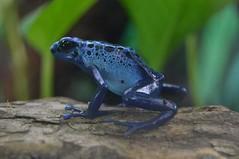 Blue Poison Dart Frog (smcfarlandphoto) Tags: poisondartfrog frog amphibian amphibians poison macro nikon stockphotos photography