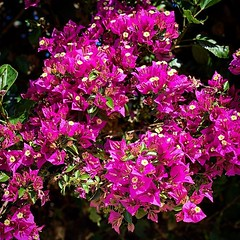 Bougainvillea in the neighborhood Spotted along one of my usual neighborhood walks. After living in the neighborhood for almost 33 years, I have become familiar with the blooming season of most of the trees and plants. This tropical plant is popular here, (dewelch) Tags: