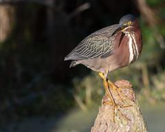 Green Heron on a Cypress Knee (Mark Schocken) Tags: butoridesvirescens greenheron heron circlebbarreserve markschocken
