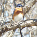 Eastern Bluebird, Alvis C. Story Park, Allen, Texas, February 24, 2019