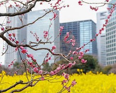 Ume blossoms in Shiodome (shinichiro*) Tags: 20190217sdim8463 2019 crazyshin sigmasdquattroh sdqh sigma1770mmf284dcmacrohsm february winter tokyo japan jp 浜離宮 梅 汐留 46328898775 candidate