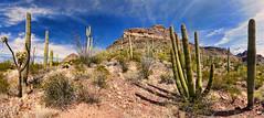 Sonoran Desert View (BongoInc) Tags: arizona sonorandesert organpipecactus nationalmonument desertlandscape cactus desertsouthwest