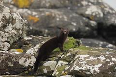 mink (simonrowlands) Tags: mink scotland coasts rivers lakes