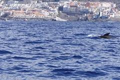 Pilot Whale [1] (Ian R. Simpson) Tags: pilotwhale whale fin puertosantiago atlanticocean atlantic ocean sea water waves coast tenerife canaryislands spain