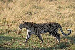 Leopard (brainstorm1984) Tags: big5 bigfive botswana campmoremi desertdeltasafaris elangeniafricanadventures gamedrive leopard moremigamereserve moremiwildreservat okavangodelta pantherapardus pantheraparduspardus safari wildfelinephotography wildlife