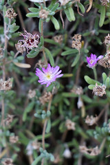 IMG_1317 (jaglazier) Tags: 122018 2018 cerrosantalucia chile december plants santalucia santiago urbanism cities copyright2018jamesaglazier flowers gardens parks purple