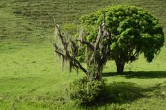 Companheiras (Márcia Valle) Tags: roça verde green juizdefora minasgerais brazil brasil zonarural rurallandscape paisagemrural márciavalle nikon d5100 verão summertime tropicallandscape árvore trees barbadevelho bromeliads