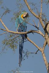Blue and Yellow Macaw (aldo_146) Tags: macaw blueandyellowmacaw parrot birds birdsofbolivia amazonbirds amazon beni tree bolivia canon wildlife