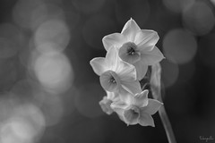 Narcissus (takapata) Tags: sony sel90m28g ilce7m2 macro nature flower bw