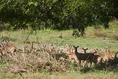 Attacking Dholes!! (paulinuk99999 (lback to photography at last!)) Tags: paulinuk99999 bandipur national tiger reserve india park wildlife ilce7m3 sal70400g indianwilddog reddog wild dog dhole deer attack hunt prey alarm chital