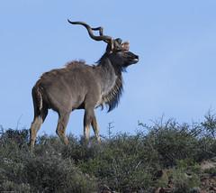 Greater Kudu (Tragelaphus strepsiceros)-9779 (Dave Krueper) Tags: africa antelope greaterkudu kudu mammal southafrica