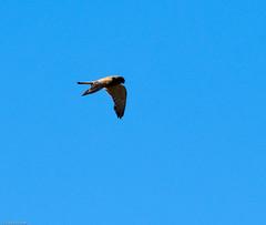Rock Kestrel (Falco rupicolus)-9950 (Dave Krueper) Tags: africa aves bird birds falcon falconidae falconiformes kestrel landbird roke southafrica