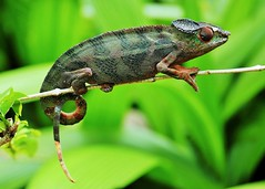 Panther Chameleon (M) (Furcifer pardalis) (Susan Roehl) Tags: madagascar2017 islandofmadagascar offtheeastcoastofafrica palmariumreserve pantherchameleon furciferpardalis reptile male animal coldblooded bumponnose toesfusedtogether tongslikeappearance functionlikegunturret rotateeacheyeseparately 360degreevision keeneyesight verylongtongues elastictongue sueroehl photographictours naturalexposures lumixdmcgh4 35x100mmlens panasonic handheld slightlycropped macro lizard wood ngc coth5