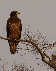 one to two year old eagle (jpwilliams2009) Tags: babybirds birds birdsofprey animalportraits stateparks