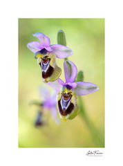 Bloom (Ophrys Tenthredinifera) (g.femenias) Tags: ophrystenthredinifera abelleravermella ophrys orchidaceae orchideae orchid wildorchid flower wildflower nature natural light stackfocus macro macrophotography bonany petra mallorca