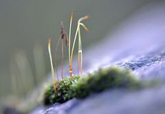 "moss on a rock (conall..) Tags: moss rock sporophyte sporophytes desenfoque outoffocus narrow dof selective focus county down tullynacree nw551041 annacloy field northernireland nikon afs nikkor f18g lens 50 mm prime primelens nikonafsnikkorf18glens50mm primelens"" nikonafsnikkorf18glens50mmprimelensprimelens closeup raynox dcr250 macro drop drops droplets dew gotas"