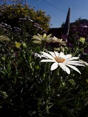#Margaritas (Pedro Angel Prados) Tags: margaritas samsung smt580 ƒ19 29 mm 13846 40 flor flower flowers nature natura explorer explorar