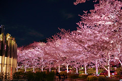 series of cherry trees (gemapozo) Tags: night pentax cherry blossom sakura roppongi k1mkii tokyo japan tokyomidtown 東京都 日本 jp hdpentaxdfa50mmf14sdmaw 夜桜 ライトアップ さくら 東京ミッドタウン