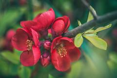 2019-04-03_udvar_05 (vond.one) Tags: vond g80 g85 panasonic lumix természet nature virág flower szín színek színes color colour colours colors