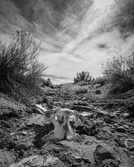 Horse Pelvis | Coso Range Wilderness (Josh Patterson Photo) Tags: bone bones pelvis horse dead death blackandwhite cosorangewilderness coso mojave mojavedesert