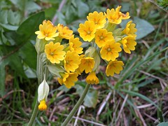 Spring flowers (Glass Angel) Tags: cowslip sheffield southyorkshire england uk