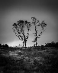 Tree (paullangton) Tags: tree bw mono blackandwhite monochrome nature wales grass sky outside canon contrast trees landscape clouds skancheli brecon