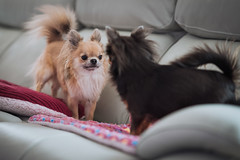 Standoff (Arnez_) Tags: dogs pets chihuahua sony gm 85 animals portrait