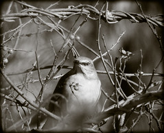 DSCN3639 (DianeBerky19) Tags: northernmockingbird mockingbird nikon coolpixp1000 bw winter