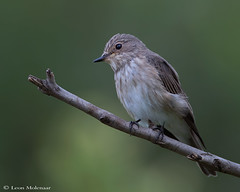 Spotted Flycatcher (leendert3) Tags: l leonmolenaar southafrica wildlife krugernationalpark birds spottedflycatcher naturethroughthelens ngc npc