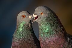 French kiss pigeon style (bodro) Tags: bolsachica beaktobeak bird birdphotography courtship ecologicalreserve eyetoeye featherdetails kiss lateafternoonlight pigeon pigeonkiss rituals shallows sunintheeye wetlands