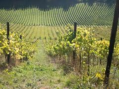 denbighs (grannie annie taggs) Tags: denbighs vineyard grapes perspective green landscape nature