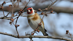 Goldfinch (JS_71) Tags: nature wildlife nikon photography outdoor 500mm bird new winter see natur pose moment outside animal flickr colour poland sunshine beak feather nikkor d500 wildbirds planet global national wing eye watcher