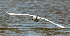 Mute Swan Incoming (Steve (Hooky) Waddingham) Tags: animal countryside coast bird british nature flight wild wildlife wildfowl planet