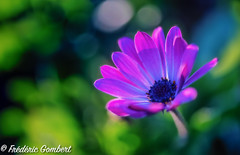 Going Out (frederic.gombert) Tags: plant flower flowers bloom color pink red blue light blossom macro nikon